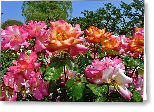 Rainbow Sorbet Roses Greeting Card by Denise Mazzocco