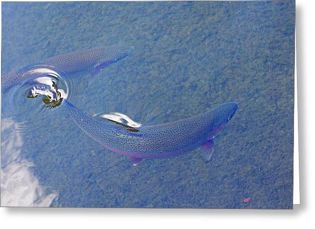 Creekbed Greeting Cards - Rainbow Trout Art Prints Breaking Water Surface Greeting Card by Baslee Troutman