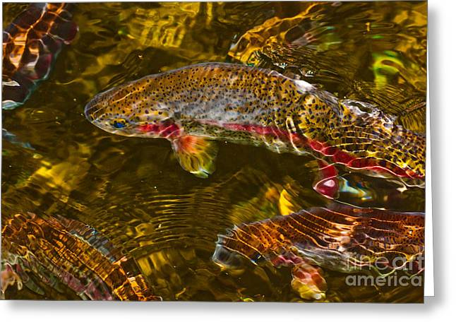 Bonneville Nationals Greeting Cards - Rainbow Trout Greeting Card by Cari Gesch