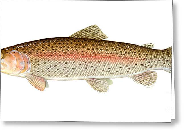 Rainbow Trout Greeting Cards - Rainbow Trout Greeting Card by Carlyn Iverson