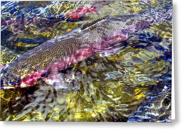 Rainbow Trout Greeting Cards - Rainbow Trout Greeting Card by Carol R Montoya