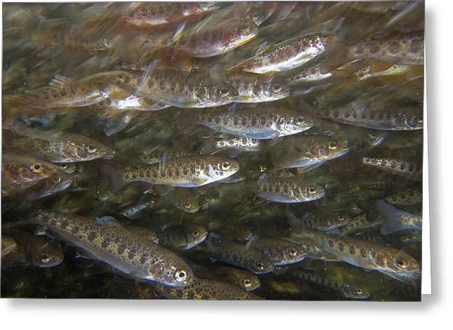 Trout Photograph Greeting Cards - Rainbow Trout Fry Greeting Card by Michael Durham