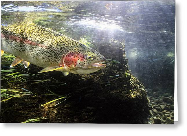 Rainbow Trout Greeting Cards - Rainbow Trout In The Kulik River Greeting Card by Mark Emery