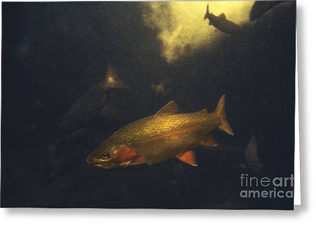 Mykiss Greeting Cards - Rainbow Trout Greeting Card by Ron Sanford