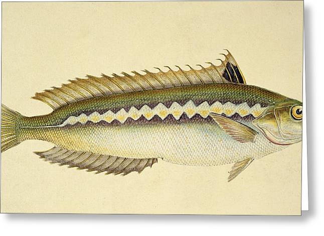 Angling Drawings Greeting Cards - Rainbow Wrasse Greeting Card by E Donovan and FC and J Rivington