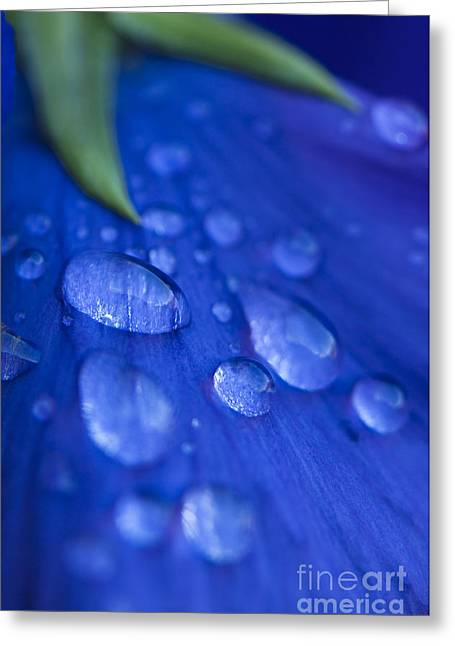 Anne Gilbert Greeting Cards - Raindrop Pansy Greeting Card by Anne Gilbert
