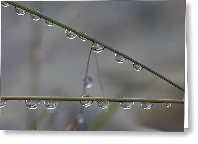 Sensitivity Greeting Cards - Raindrops clinging to grass stems Greeting Card by Intensivelight