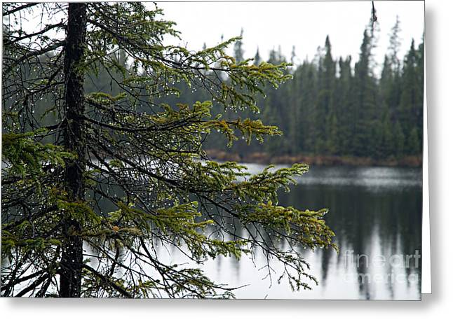 Boundary Waters Greeting Cards - Raindrops on an Evergreen Greeting Card by Larry Ricker