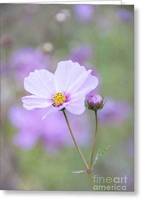 Dainty Greeting Cards - Raindrops on Cosmos Greeting Card by Juli Scalzi
