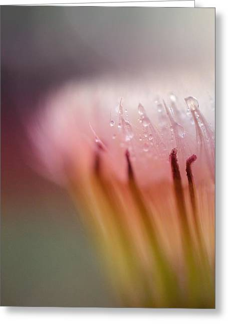Raindrop Greeting Cards - Raindrops on Dandelion Flower Greeting Card by Marianna Mills