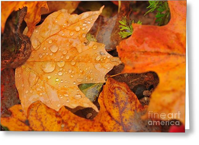 Fallen Leaves Greeting Cards - Raindrops on Fallen Maple Leaf Greeting Card by Terri Gostola
