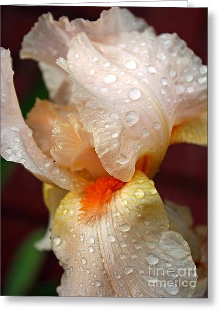 Raindrops On Flowers Greeting Cards - Raindrops on Orange Iris Greeting Card by Carol Groenen