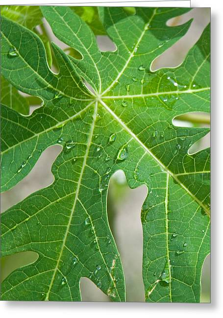 Raindrops On Papaya Tree Leaf, La Greeting Card by Panoramic Images