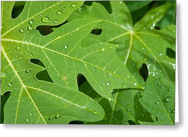 Papayas Greeting Cards - Raindrops On Papaya Tree Leaves, La Greeting Card by Panoramic Images