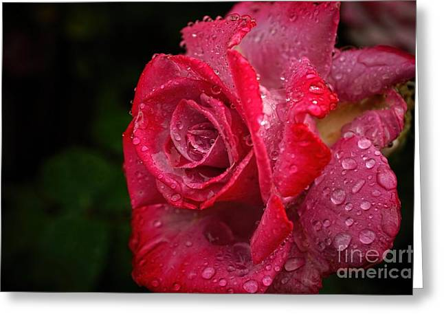 The Nature Center Greeting Cards - Raindrops On Roses Greeting Card by Peggy J Hughes