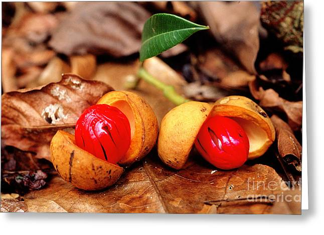 Forest Floor Greeting Cards - Rainforest Fruit Greeting Card by Gregory G. Dimijian