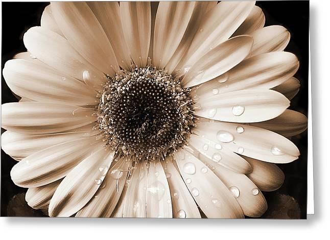 Rainsdrops On Gerber Daisy Sepia Greeting Card by Jennie Marie Schell