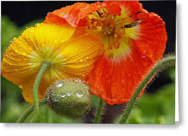 Rain Droplet Photographs Greeting Cards - Rainy Day Series - Orange and Yellow Poppies Greeting Card by Suzanne Gaff