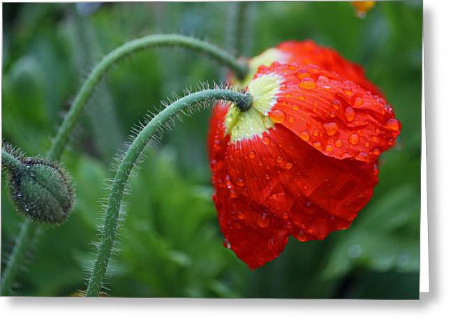 Rain Droplet Photographs Greeting Cards - Rainy Day Series - Two Red Poppies Greeting Card by Suzanne Gaff
