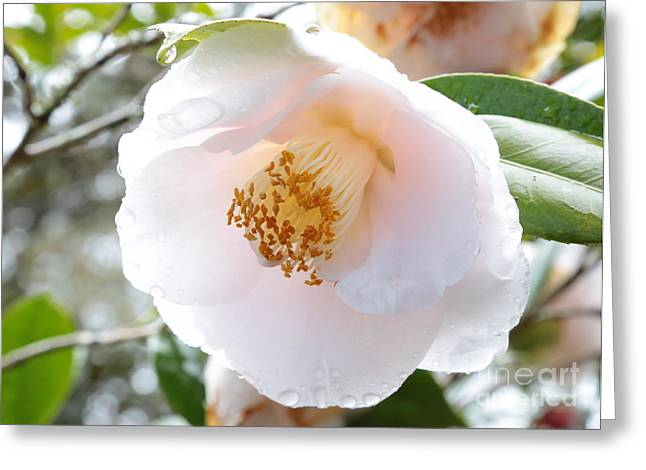 Raindrops On Flowers Greeting Cards - Rainy White Camellia Greeting Card by Carol Groenen