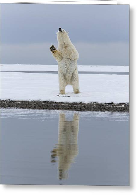 Polar Bear Standing Greeting Cards - Raise Your Paw and Be Counted Greeting Card by Tim Grams
