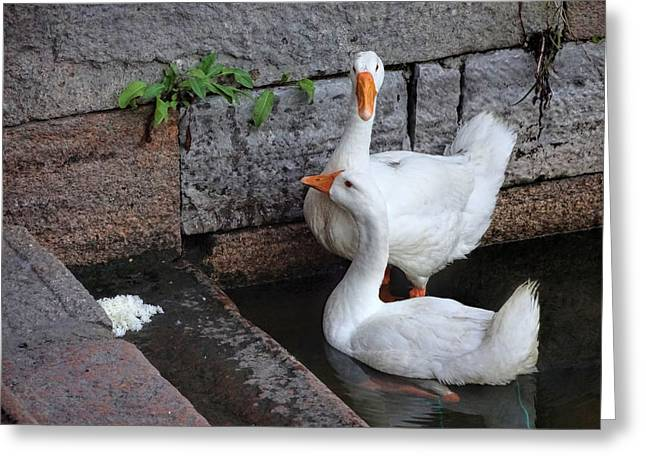Amimal Greeting Cards - Raising Geese Greeting Card by Robert Knight