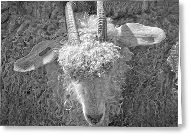 Sheep Digital Art Greeting Cards - Ram Sheep On Farm In Maine Greeting Card by Keith Webber Jr