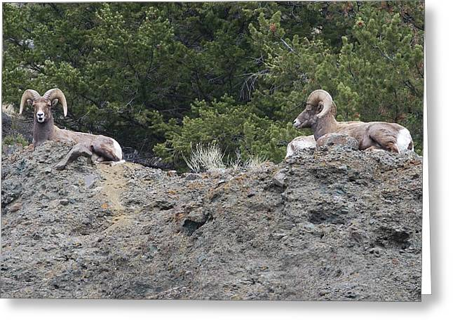 Rocky Mountain Sheep Greeting Cards - Ram Tough Greeting Card by Rich Franco