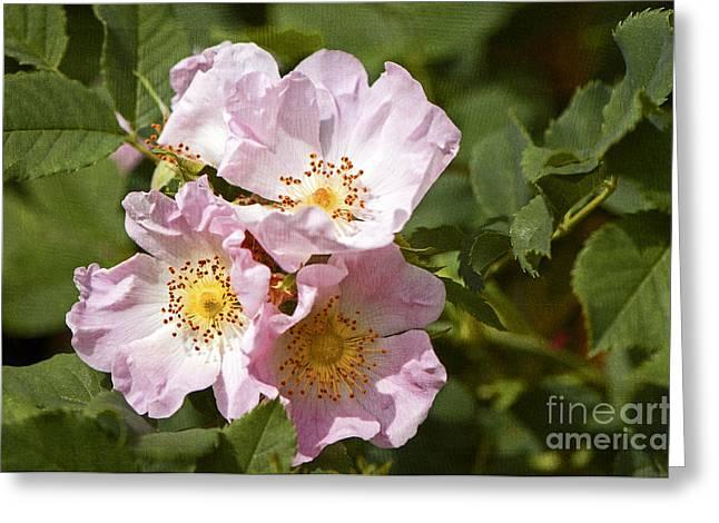 Rambling Greeting Cards - Rambling Rose 3 Greeting Card by Sharon  Talson