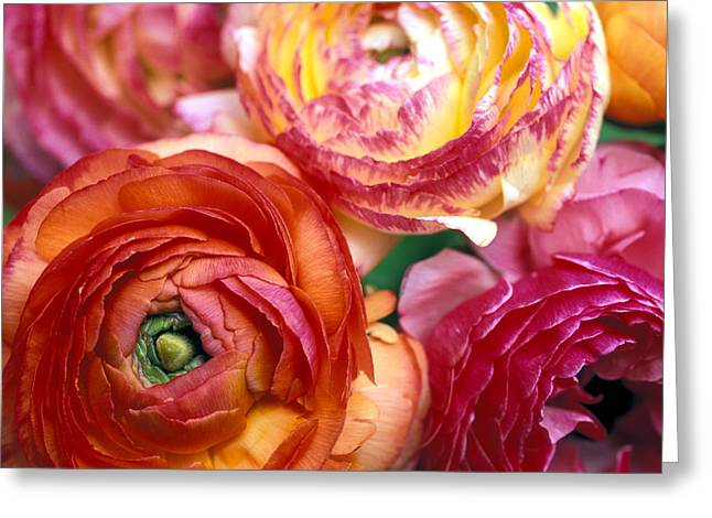 Floral Photos Greeting Cards - Ranunculus Close-up Greeting Card by Kathy Yates