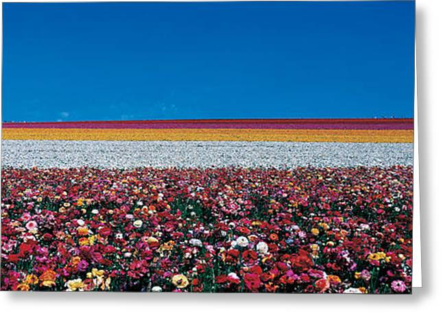 Multitude Greeting Cards - Ranunculus Flowers Carlsbad Ranch Greeting Card by Panoramic Images