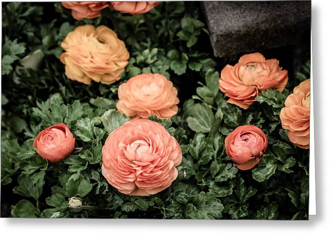 Ranunculus Greeting Cards - Ranunculus Greeting Card by Rebecca Cozart