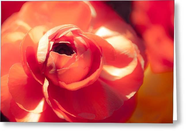 Dallas Arboretum Greeting Cards - Ranunculus Square Greeting Card by Sonja Quintero