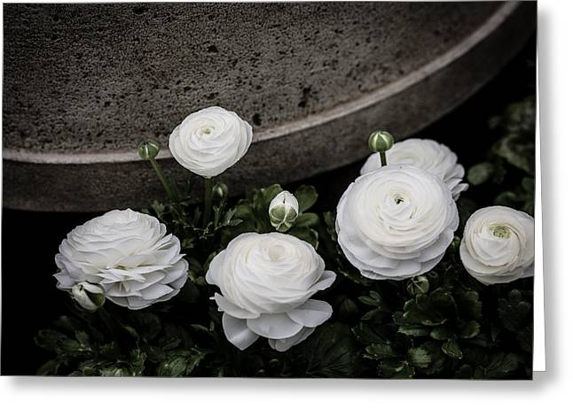 Ranunculus Greeting Cards - Ranunculus White Greeting Card by Rebecca Cozart