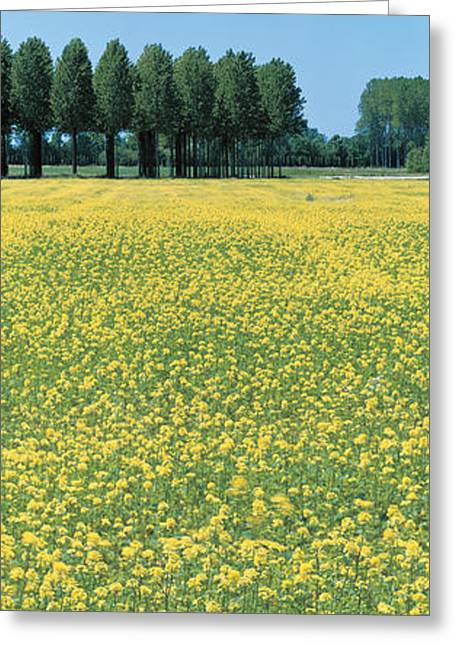 Tree Lines Greeting Cards - Rape Flowers France Greeting Card by Panoramic Images