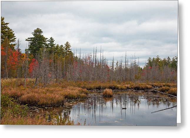 Fir Trees Greeting Cards - Raquette Lakes Browns Track Inlet Greeting Card by David Patterson