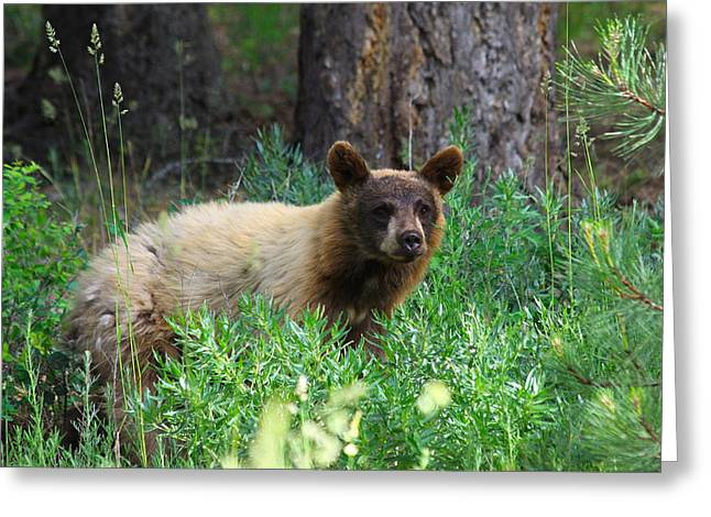 Ursidae Greeting Cards - Rare Black Bear Cub Cinnamon Red Greeting Card by Karon Melillo DeVega