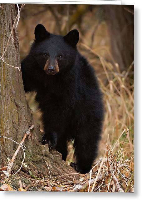 Black Bear Cubs Greeting Cards - Rare cub Greeting Card by Christopher Balmer