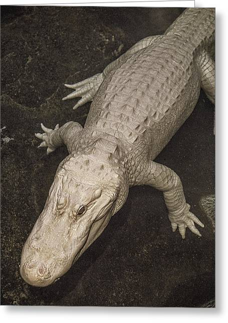 Rare White Alligator Greeting Card by Garry Gay