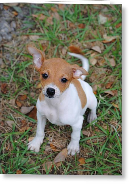 Doggies Greeting Cards - Rat Terrier Puppy Greeting Card by James Wampler