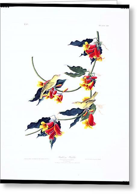 Metal Prints Drawings Greeting Cards - Rathbone Warbler Greeting Card by Celestial Images