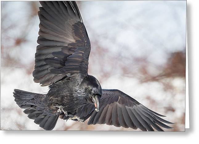 Raven Greeting Cards - Raven In Flight Square Greeting Card by Bill  Wakeley