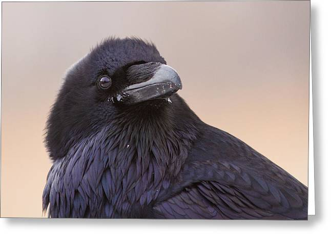 Nord Greeting Cards - Raven Portrait Greeting Card by Mircea Costina Photography