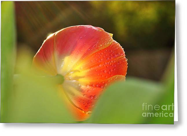 Wet Petals Greeting Cards - Rays of Sunshine on Tulip Greeting Card by Kaye Menner