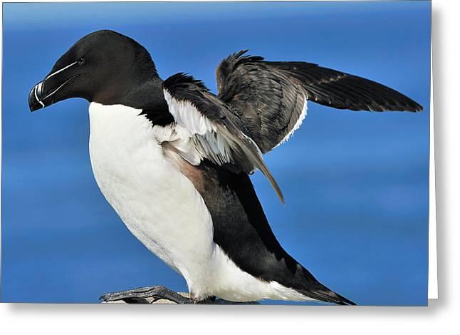 Machias Seal Island Greeting Cards - Razorbill Greeting Card by Tony Beck