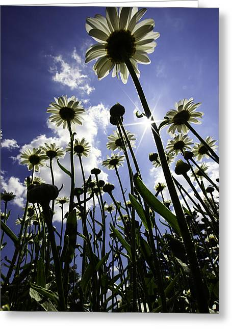 Daisy Greeting Cards - Reach For The Sky Greeting Card by Rick Berk