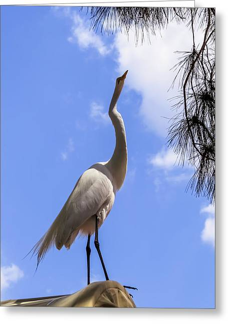 Egret Greeting Cards - Reach for the sky Greeting Card by Zina Stromberg