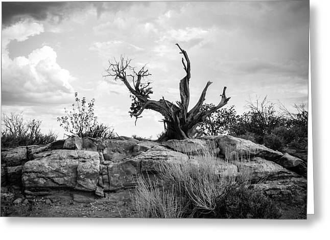 Arches National Park Pine Trees Greeting Cards - Reaching BW Greeting Card by Cheryl McClure