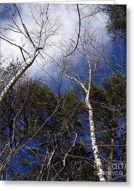 Within A Tree Greeting Cards - Reaching White Paper Birch Tree Branches Canvas Print Greeting Card by Eunice Miller
