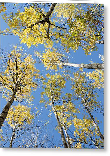 Birch Greeting Cards - Reaching for the sky 1 Greeting Card by Rob Huntley